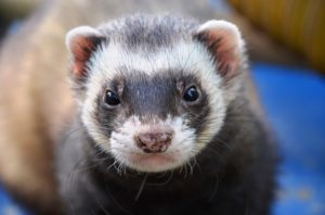 cheap ferret price