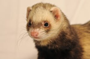 ferret breeders near me