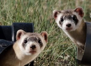 ferret facts about ferrets as pets