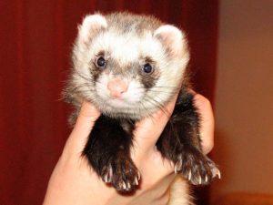 best ferret price