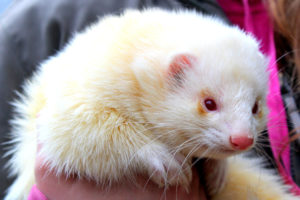 what is an angora ferret