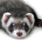 Do Ferrets Recognize Their Owners & Family Members?