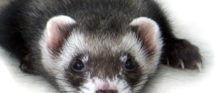 do ferrets recognise their owners