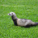 Ferret Training — Our Top 5 Tips and Tricks
