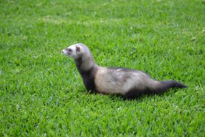 ferret breeder texas