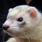 Ferret Life Span — How Long Do Ferrets Live?