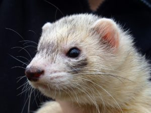 what age can a ferret live to