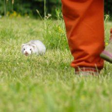 ferrets for adoption