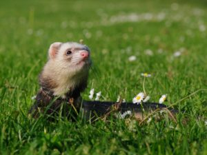 are ferrets expensive pets