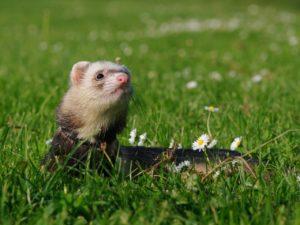 cheap ferrets for sale near me