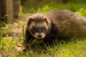 how long do pet ferrets live for