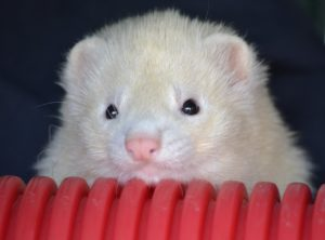 what is a marshall ferret
