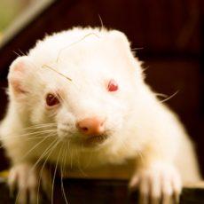 white ferret