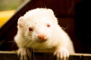 white ferret turning orange