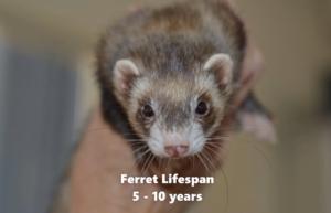 ferret life span 5-9 years