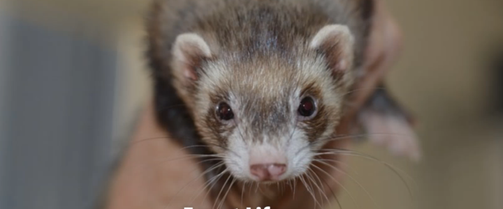 ferret life span 5-9 years
