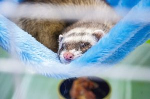 what foods can ferrets eat