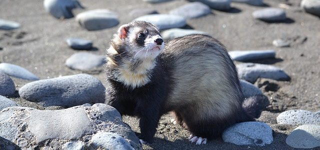 ferret pet facts